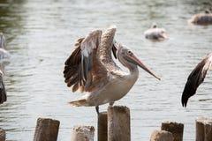 O pelicano está na madeira imagem de stock royalty free