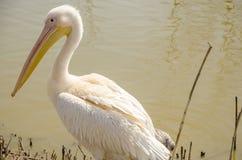 O pelicano está no banco de uma lagoa Imagens de Stock Royalty Free