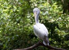 O pelicano limpa penas Foto de Stock