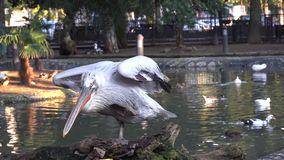 O pelicano risca sua pata e sacode sua cauda na perspectiva da lagoa filme