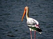 O pelicano só Imagem de Stock