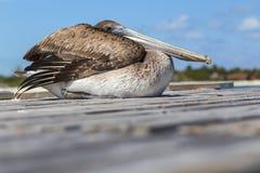 O pelicano senta-se em placas do cais Imagem de Stock Royalty Free