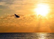 O pelicano voa sobre Boca Beach Just After Sunrise fotos de stock royalty free