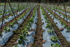 O pepino da exploração agrícola está crescendo Foto de Stock Royalty Free