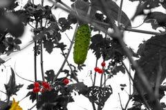 O pepino de bronze estabeleceu-se no viburnum do vermelho da árvore Fotografia de Stock