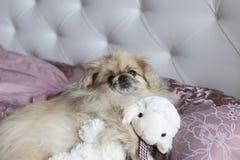 O pequinês do cão encontra-se na cama Fotos de Stock Royalty Free