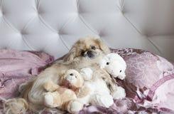 O pequinês do cão encontra-se na cama Fotos de Stock