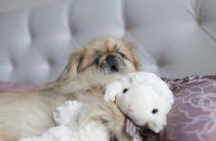 O pequinês do cão encontra-se na cama e boceja-se Imagem de Stock Royalty Free
