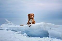 O perdigueiro anunciando do pato de Nova Scotia encontra-se em uma banquisa de gelo Fotos de Stock Royalty Free