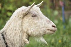 O perfil da cabra Fotos de Stock