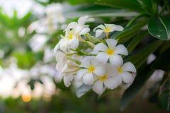O perfume doce do Plumeria branco floresce no jardim Fotos de Stock