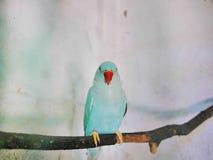 O periquito azul fotografia de stock