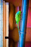 O periquito rosa-rodeado imagem de stock