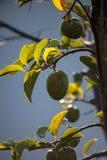 O Persea da árvore de abacate referente à cultura norte-americana cresce no selvagem imagem de stock royalty free