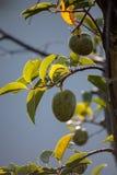 O Persea da árvore de abacate referente à cultura norte-americana cresce no selvagem foto de stock
