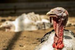 O peru & o x28; bird& x29; sensação sonolento fotografia de stock
