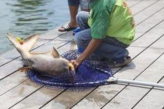 O pescador travou um peixe-gato gigante Foto de Stock Royalty Free