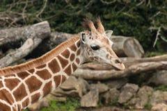 O pescoço do girafa com cabeça Fotografia de Stock Royalty Free