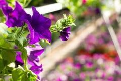 O petúnia bonito floresce na cor ultravioleta na moda em um gard imagens de stock royalty free