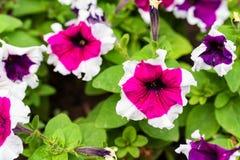 O petúnia colorido floresce a flor no jardim imagens de stock royalty free