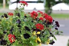 O petúnia - uma flor da família Solanaceous, tem a vária coloração brilhante das flores fotografia de stock royalty free