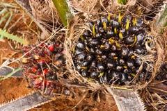 O petróleo de palma é uma colheita importante para seres humanos. Fotos de Stock
