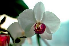 """O Phalaenopsis/ËŒfæláµ"""" ˈnÉ'psɪs/Blume 1825, conhecido como orquídeas de traça, abreviou Phal no comércio hortícola, [2] uma o Foto de Stock"""
