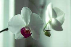 """O Phalaenopsis/ËŒfæláµ"""" ˈnÉ'psɪs/Blume 1825, conhecido como orquídeas de traça, abreviou Phal no comércio hortícola, [2] uma o Fotos de Stock"""