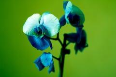 O Phalaenopsis/ËŒblue/Blume 1825, conhecido como orquídeas de traça, abreviou Phal no comércio hortícola, [2] uma orquídea Foto de Stock Royalty Free