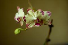 O Phalaenopsis/ËŒblue/Blume 1825, conhecido como orquídeas de traça, abreviou Phal no comércio hortícola, [2] uma orquídea Foto de Stock