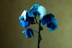 O Phalaenopsis/ËŒblue/Blume 1825, conhecido como orquídeas de traça, abreviou Phal no comércio hortícola, [2] uma orquídea Imagens de Stock
