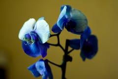 O Phalaenopsis/ËŒblue/Blume 1825, conhecido como orquídeas de traça, abreviou Phal no comércio hortícola, [2] uma orquídea Fotos de Stock Royalty Free