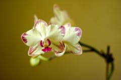 O Phalaenopsis/ËŒblue/Blume 1825, conhecido como orquídeas de traça, abreviou Phal no comércio hortícola, [2] uma orquídea Fotografia de Stock Royalty Free