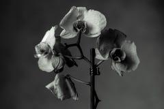 O Phalaenopsis/ËŒblue/Blume 1825, conhecido como orquídeas de traça, abreviou Phal no comércio hortícola, [2] uma orquídea Fotografia de Stock