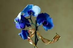 O Phalaenopsis/ËŒblue/Blume 1825, conhecido como orquídeas de traça, abreviou Phal no comércio hortícola, [2] uma orquídea imagem de stock royalty free