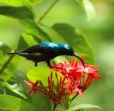 O philippinus azul-atado do Merops do abelha-comedor foto de stock royalty free