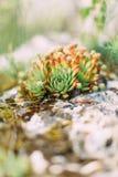 O photof lateral as ervas verdes e vermelhas que crescem nas rochas nas montanhas Foto de Stock
