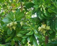 O pięść rozmiaru niewyrobionej owoc w Putat drzewie zdjęcia stock