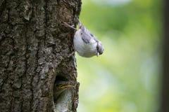 O pica-pau-cinzento adulto do pássaro senta-se perto do filhote de passarinho novo no tronco de árvore vertical Europaea do Sitta Fotografia de Stock