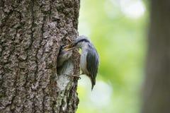 O pica-pau-cinzento do pássaro alimenta o filhote de passarinho com fome novo do bico ao bico Cena selvagem da natureza da vida d Imagens de Stock