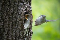 O pica-pau-cinzento do pássaro remove a maca dos filhotes de passarinho, limpa pais felizes do ninho na família de pássaro que fa Foto de Stock Royalty Free