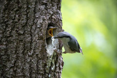 O pica-pau-cinzento do pássaro remove a maca dos pais felizes do ninho da família de pássaro que fazem seu trabalho Fotografia de Stock