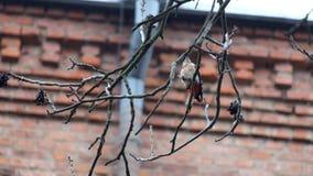O pica-pau de dorso branco está procurando insetos em um ramo desencapado da porca filme