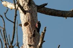 O pica-pau de Lewis no ninho Fotografia de Stock