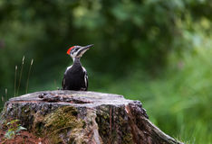 O pica-pau fêmea juvenil novo de Pileated explora seu mundo foto de stock royalty free