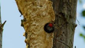 O pica-pau inchado vermelho chama do furo do ninho no tronco da palma imagens de stock royalty free