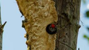 O pica-pau inchado vermelho chama do furo do ninho no tronco da palma fotografia de stock royalty free