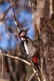 O pica-pau que senta-se na árvore Foto de Stock Royalty Free