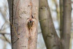O pica-pau verde europeu joga para fora a serragem do furo do ninho imagem de stock