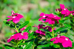 O pico miraculoso super do mose de Rosa ao longo do bom dia super Fotos de Stock Royalty Free